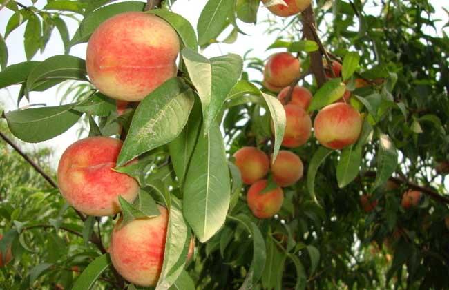 桃子什么时候成熟
