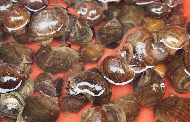 螺蛳养殖技术