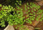 铁线蕨种类图片大全
