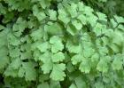 铁线蕨花语是什么