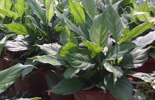 万年青:万年青为植物界