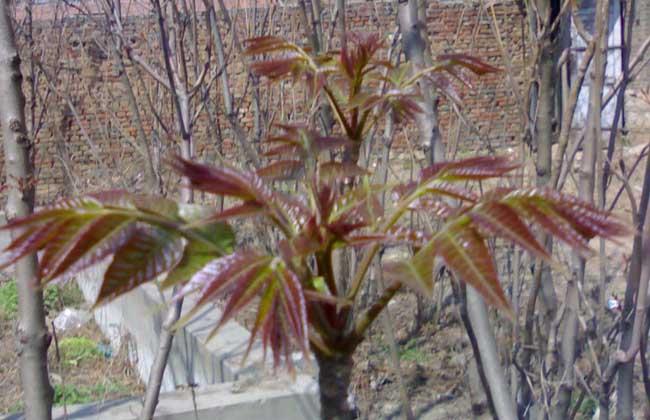 香椿芽的储存方法