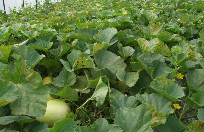 甜瓜病虫害防治技术 - 水果种植 - 黔农网