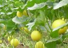 甜瓜栽培技术视频