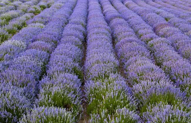 薰衣草的产地分布