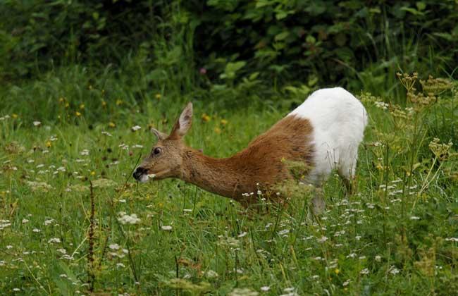狍子别称矮鹿、野羊、狍、麅等,为鹿科空齿鹿亚科狍属草食动物,是中国东北地区常见的野生动物之一,经济价值较高,已被列入《国家保护的有益的或者有重要经济、科学研究价值的陆生野生动物名录》,主要分布在东北、外东北、西伯利亚、欧洲等地。