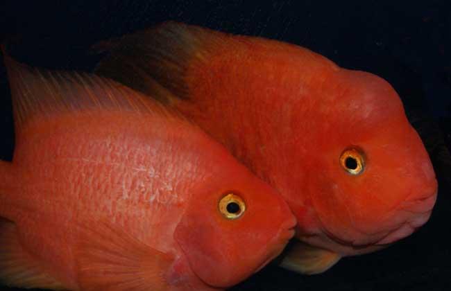 鹦鹉鱼的市场价格