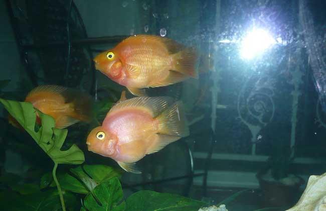 普通鹦鹉鱼