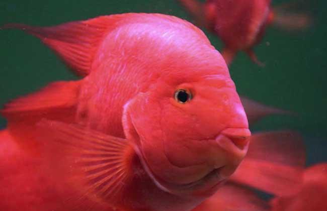 金刚鹦鹉鱼