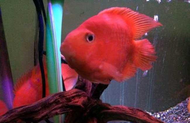 红元宝鹦鹉鱼