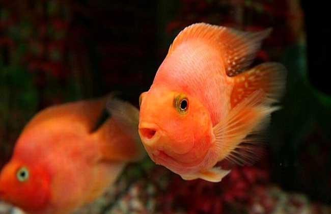 红鹦鹉鱼图片