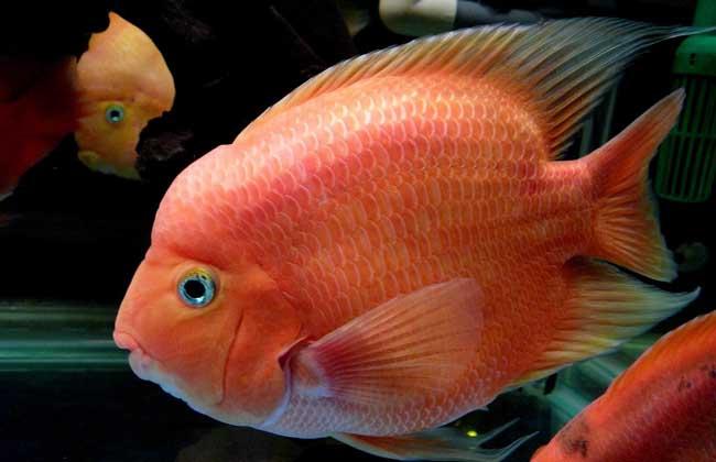 鹦鹉鱼和什么鱼混养好?