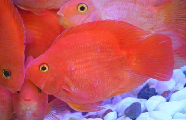 金刚鹦鹉鱼和普通鹦鹉鱼的区别