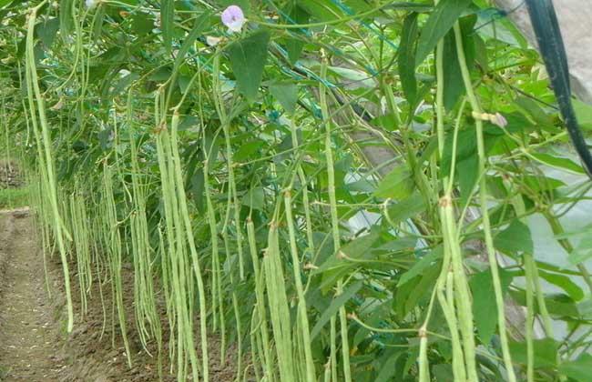 豇豆的功效与作用
