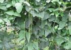 豇豆种植技术视频