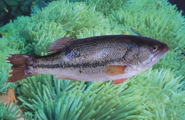 鲈鱼的产地分布