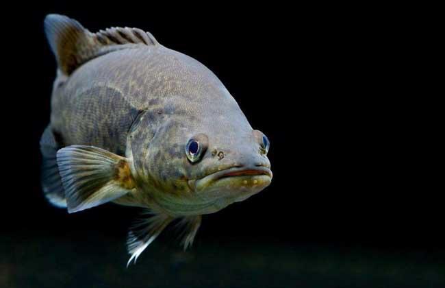 鲈鱼养殖技术视频