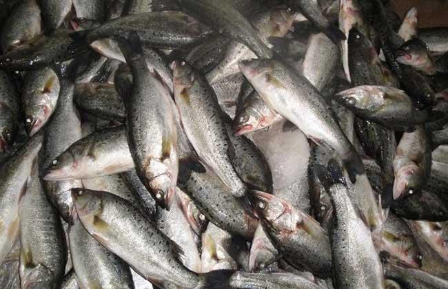 鲈鱼的养殖管理
