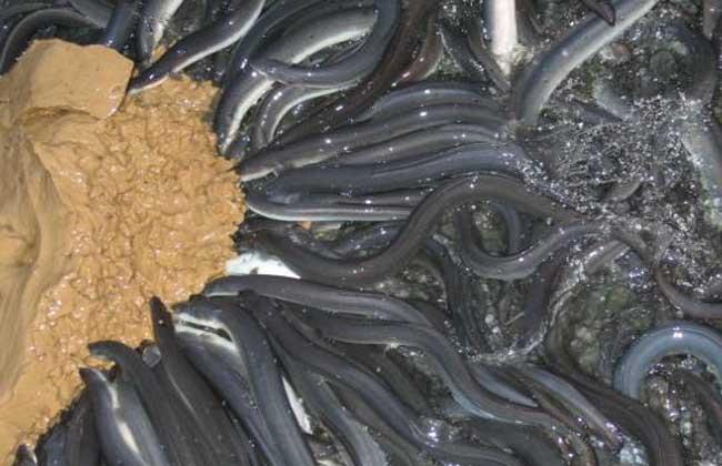 鳗鱼养殖技术视频