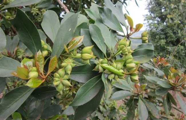 八角树种植条件