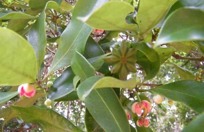 八角树的繁殖方法