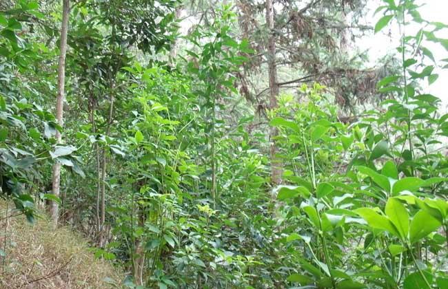 八角树的种植条件