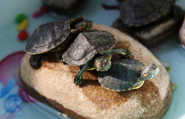 巴西龟怎么养最好