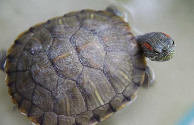 巴西龟的生活习性