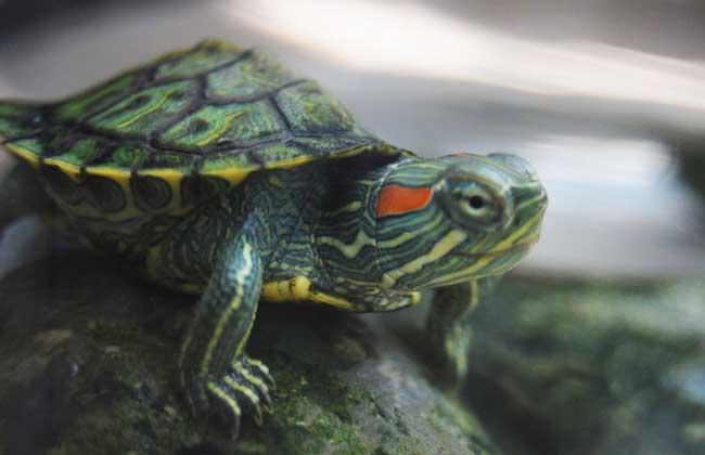 巴西龟的疾病防治