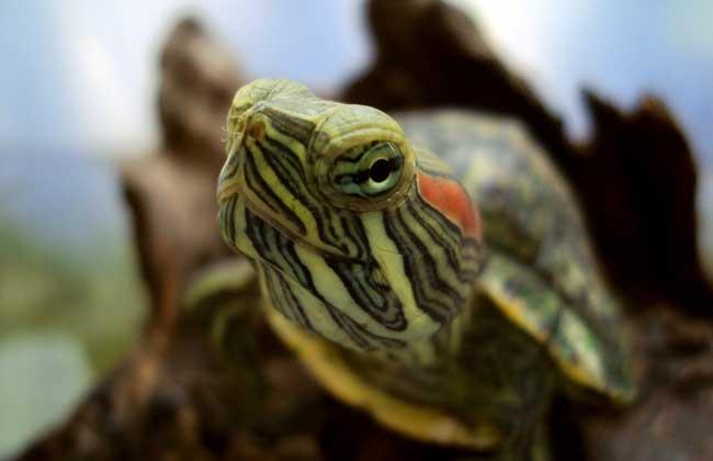 巴西龟/巴西龟怎么养_ 巴西龟 怎么分公母...