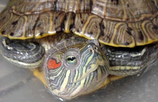 巴西龟多少钱一只?