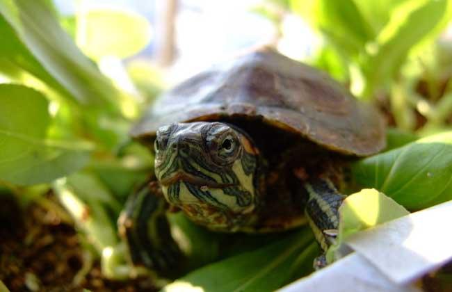 巴西龟能长多大?