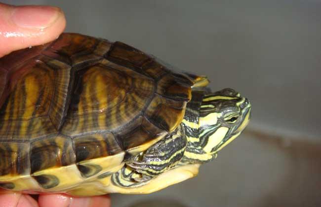 养巴西龟放多少水