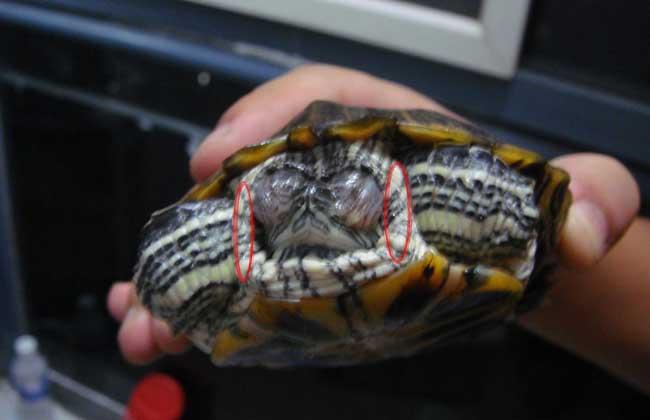 巴西龟白眼病怎么治