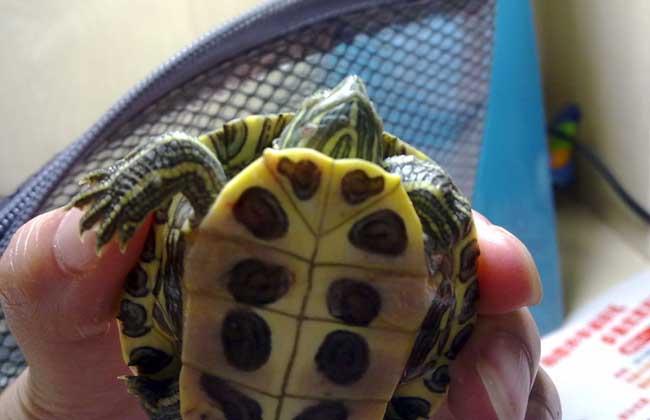 巴西龟不吃东西怎么办