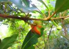 八角树种多久结果