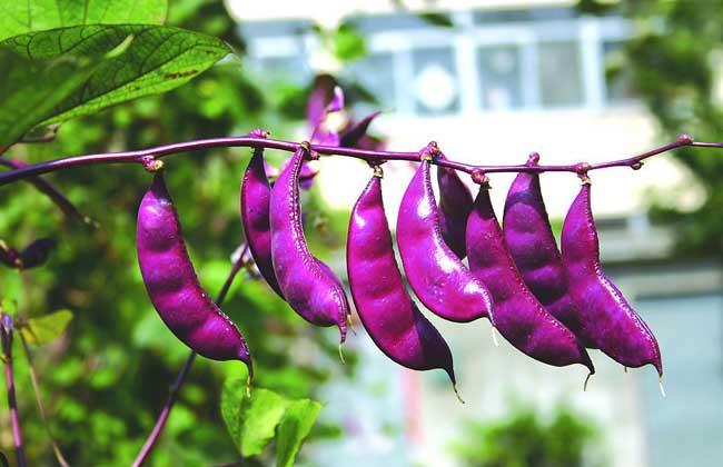扁豆的做法大全