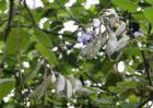扁豆种植技术视频
