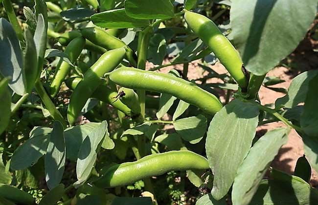 蚕豆的营养价值