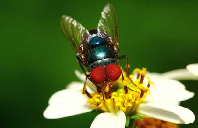 苍蝇为什么总搓手