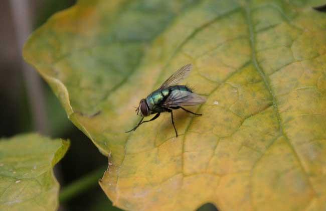 苍蝇的幼虫叫什么