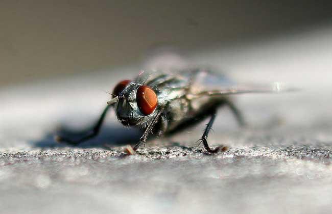 苍蝇的繁殖速度有多快