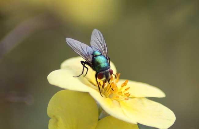苍蝇的生活习性