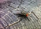 苍蝇的生长过程