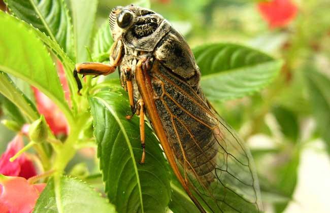 蝉是益虫还是害虫