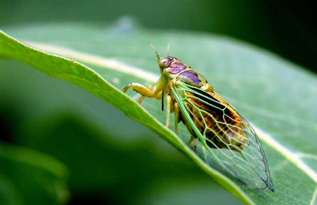 蝉蛹的营养价值