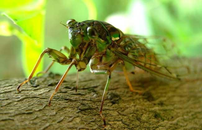 蝉的寿命有多长?