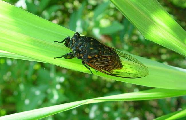 蝉的寿命有多长