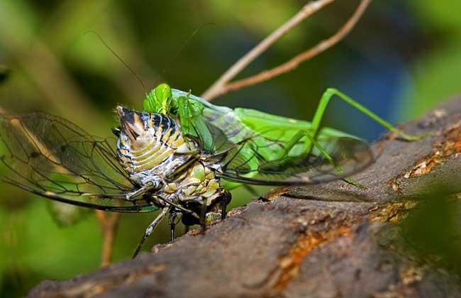 螳螂捕蝉黄雀在后的意思