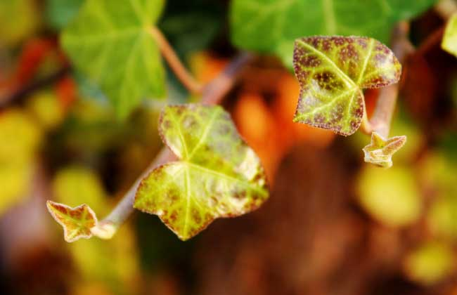 常春藤的繁殖方法
